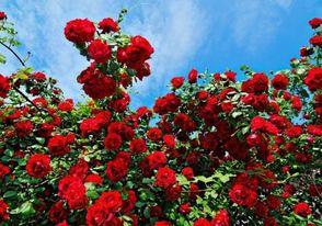 Легенда за Розата